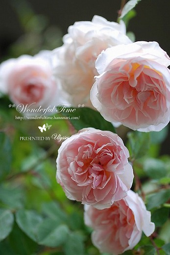 Hume's Blush Tea-scented China**Ch