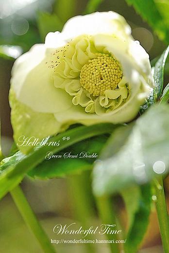 Helleborus**Green Semidouble**開花♪