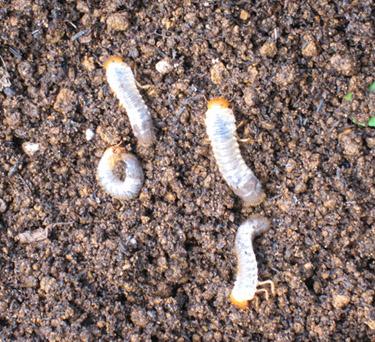 コガネムシの幼虫