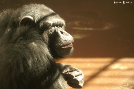 哀愁チンパンジー。