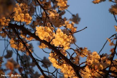 二条城にて夜桜。