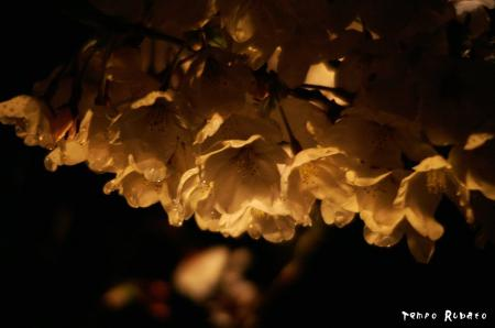 清水寺にて夜桜。
