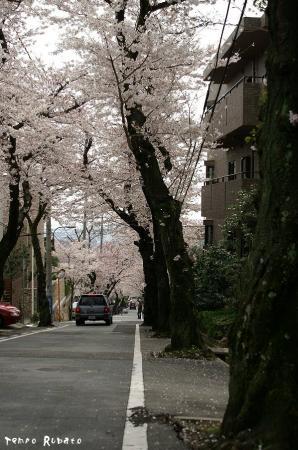 桜トンネル。