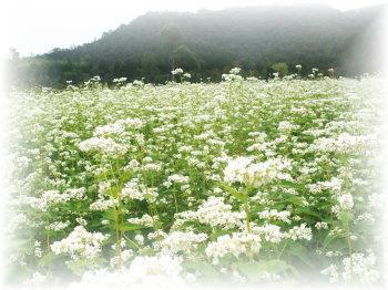 ソバの花畑