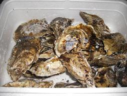船越の牡蠣