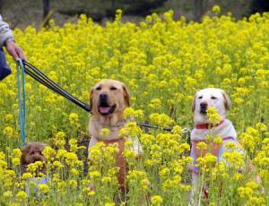 丘陵 菜の花