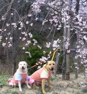 丘陵 しだれ桜1
