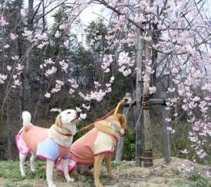 丘陵 しだれ桜2