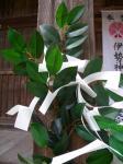 水主神社のサカキ2