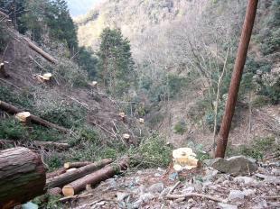 桧伐採001