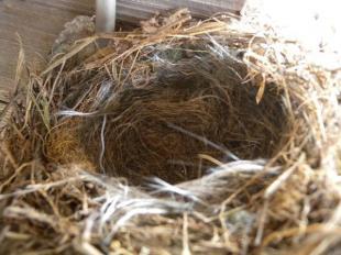 セキレイの巣
