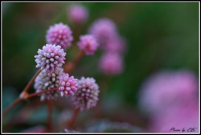 ピンクの花08.11.20