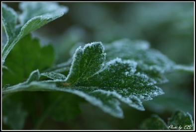 霜付く葉08.11.20