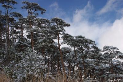09.1.13 雪の赤松