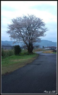 堤防の山桜
