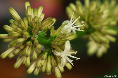 幸福の樹,開花