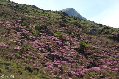 硫黄山の斜面を彩るミヤマキリシマ