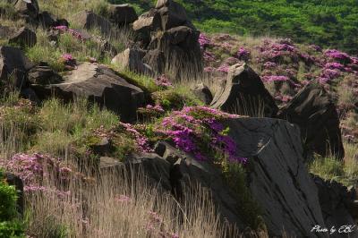 烈火岩に咲く