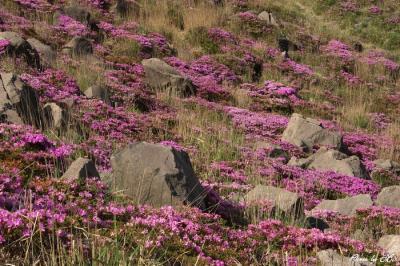 烈火岩とミヤマキリシマ