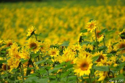 都城市庄内の向日葵