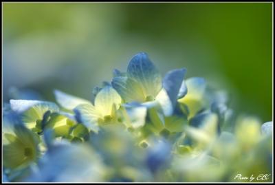09.6.12 紫陽花