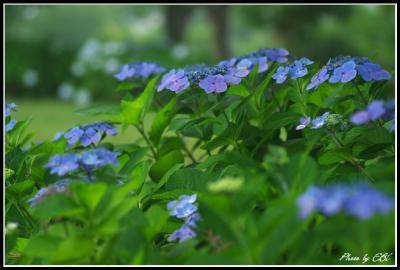 吉野公園の紫陽花