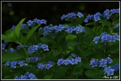 吉野公園の紫陽花04