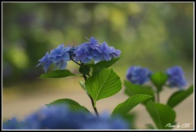 吉野公園の紫陽花03