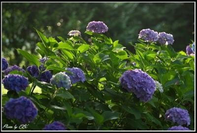 吉野公園の紫陽花02