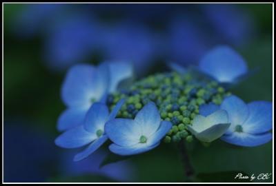 吉野公園の紫陽花01