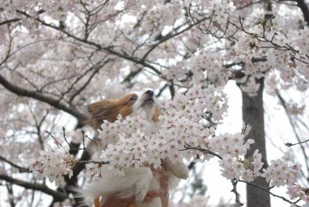 4・4 桜とさきち1