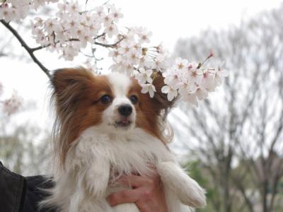 4・4 桜とさきち2