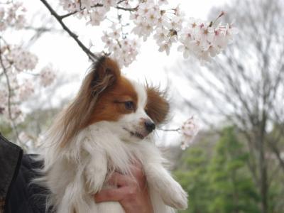 4・4 桜とさきち3