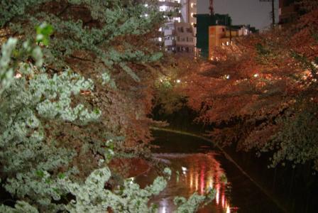 4・8 夜桜5