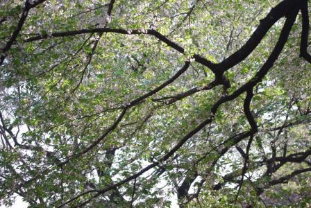 4・12 葉桜