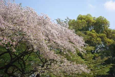 4・12 葉桜1