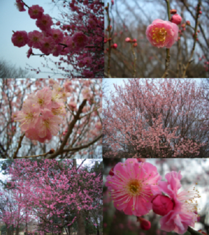 梅と桜。 癒されます。