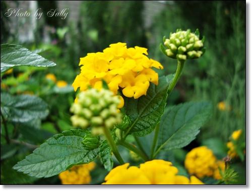 黄色い花(初夏)
