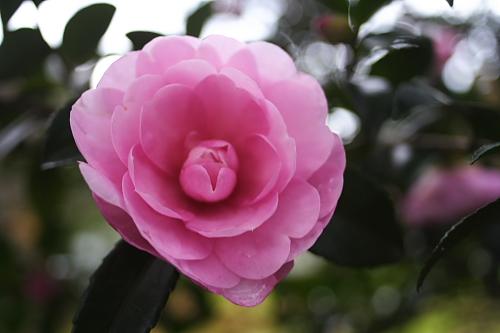 実家に咲いていた椿?毎年きれいな花をたくさん咲かせてくれます