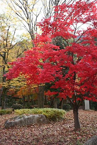 岐阜公園の真っ赤な紅葉