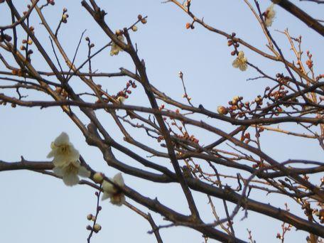 白い梅・・・春の気配?