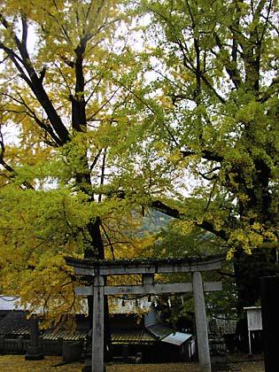 岩部神社イチョウ2