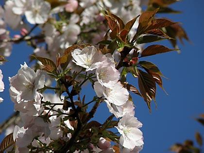 09工房の桜1
