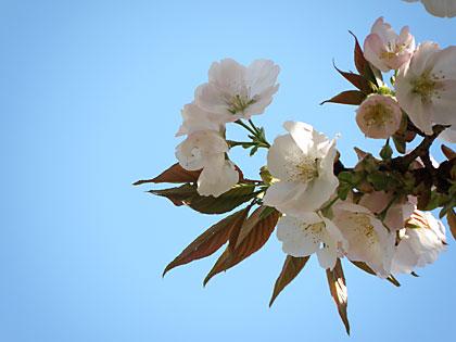 09工房の桜2