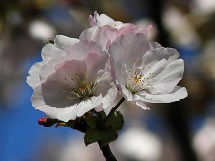 09工房の桜3