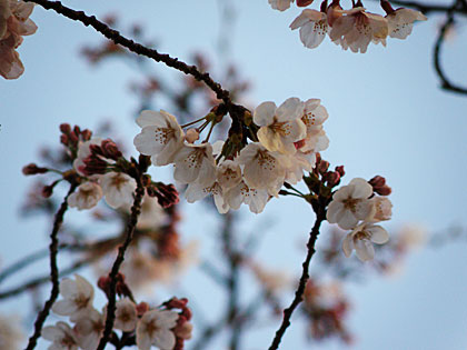 09桜1-1