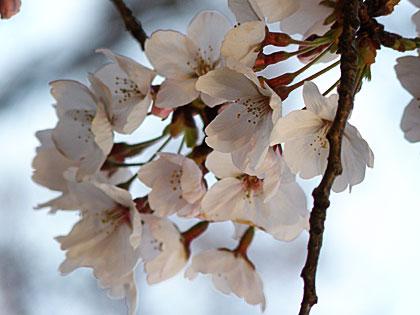 09桜1-2