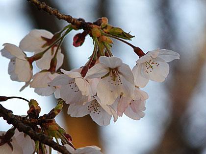 09桜1-3