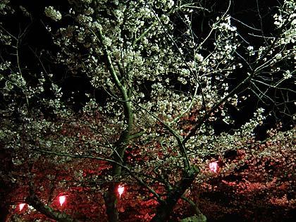 09夜桜1