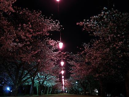 09夜桜3
